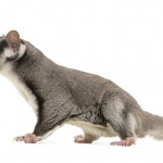 Where To Buy Sugar Gliders