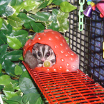 Setting Up Your Sugar Glider Cage