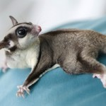 Can I Travel With My Sugar Glider?