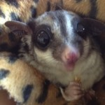 How Do I Make My Sure My Sugar Glider Stays Healthy?