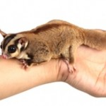 How Do I Bond With My Sugar Glider?