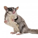 Sugar Gliders As Pets