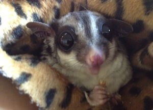 Sugar glider eating worms